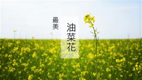 唯美油菜花田风景模板精美动画PPT模板简单